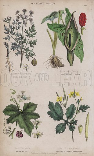 Fool's Parsley; Cuckoo Pint or Wake Robin; White Bryony; Greater or Common Celandine. Illustration for A History of the Vegetable Kingdom by William Rhind (Blackie, 1855).