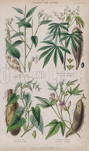 Arrowroot; Maniocor Cassava; Yam; Sweet Potato. Illustration for A History of the Vegetable Kingdom by William Rhind (Blackie, 1855).
