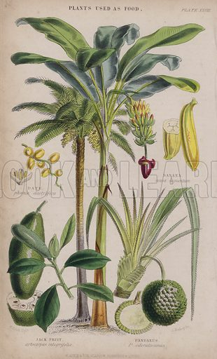 Date; Banana; Jack Fruit; Pandanus. Illustration for A History of the Vegetable Kingdom by William Rhind (Blackie, 1855).