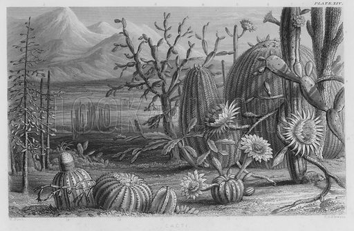 Cacti. Illustration for A History of the Vegetable Kingdom by William Rhind (Blackie, 1855).