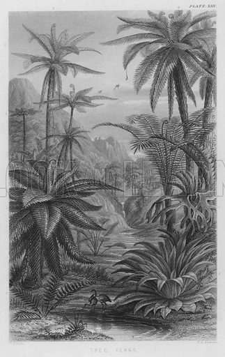 Tree Ferns. Illustration for A History of the Vegetable Kingdom by William Rhind (Blackie, 1855).
