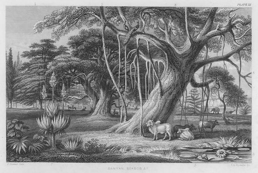 Banyan, Boabob etc. Illustration for A History of the Vegetable Kingdom by William Rhind (Blackie, 1855).