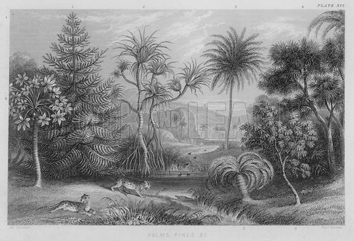 Palms, Pines etc. Illustration for A History of the Vegetable Kingdom by William Rhind (Blackie, 1855).