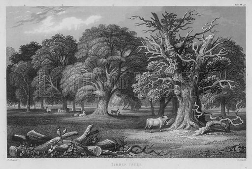 Timber Trees. Illustration for A History of the Vegetable Kingdom by William Rhind (Blackie, 1855).