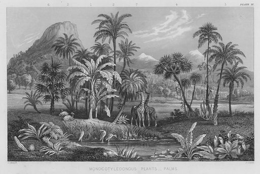 Monocotyledonous Plants, Palms. Illustration for A History of the Vegetable Kingdom by William Rhind (Blackie, 1855).