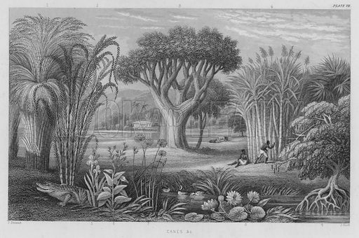 Canes etc. Illustration for A History of the Vegetable Kingdom by William Rhind (Blackie, 1855).