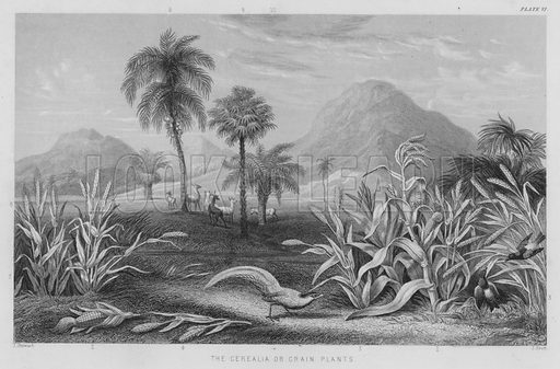 The Cerealia or Grain Plants. Illustration for A History of the Vegetable Kingdom by William Rhind (Blackie, 1855).
