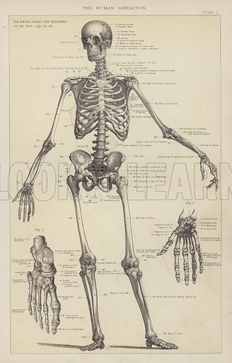 The Human Skeleton. Illustration for The Household Physician by J M'Gregor-Robertson (Blackie, c 1870).