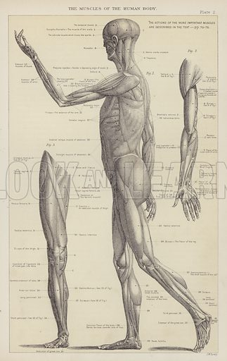 The muscles of the human body. Illustration for The Household Physician by J M'Gregor-Robertson (Blackie, c 1870).