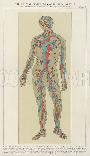 The general distribution of the blood-vessels. Illustration for The Household Physician by J M'Gregor-Robertson (Blackie, c 1870).