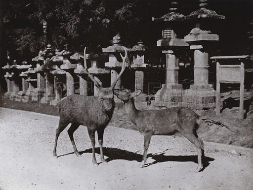 Deer, a Study at Nara. Illustration for In Lotus-Land Japan by Herbert G Ponting (new and rev edn, 1922).