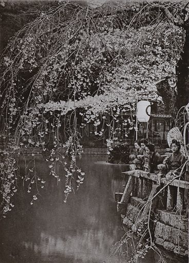 Cherry-Blossom Time in Japan. Illustration for In Lotus-Land Japan by Herbert G Ponting (new and rev edn, 1922).