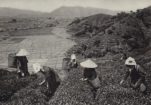 Tea harvest. Illustration for Japan, Korea Und Formosa by F M Trautz (Atlantis-Verlag, 1930).  Gravure printed.
