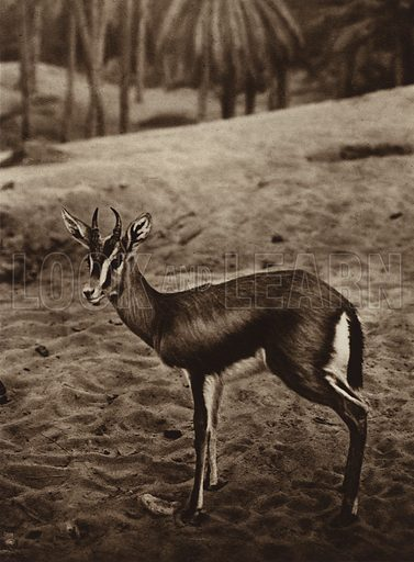Gazelle on the edge of the Nefta Oasis. Illustration for Picturesque North Africa (Jarrolds, c 1925).  First published by Ernst Wasmuth, Berlin, 1925.  Gravure-printed. Photo credit: Lehnert and Landrock, Cairo.