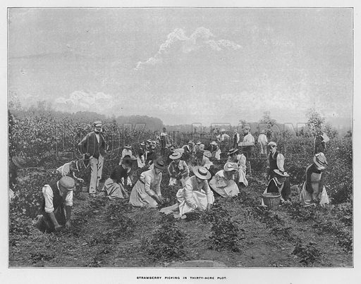 Strawberry picking in thirty-acre plot. Illustration for Orchards and Gardens Ancient and Modern, with a description of the Orchards, Gardens, Model Farms and Factories owned by Mr William Whiteley, of Westbourne Grove, London, by Alfred Barnard (London, 1895).