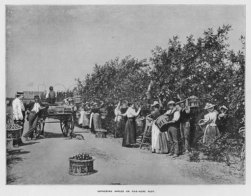 Gathering apples on five-acre plot. Illustration for Orchards and Gardens Ancient and Modern, with a description of the Orchards, Gardens, Model Farms and Factories owned by Mr William Whiteley, of Westbourne Grove, London, by Alfred Barnard (London, 1895).