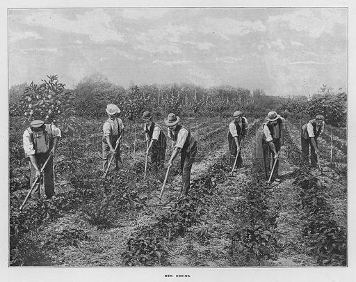 Men hoeing. Illustration for Orchards and Gardens Ancient and Modern, with a description of the Orchards, Gardens, Model Farms and Factories owned by Mr William Whiteley, of Westbourne Grove, London, by Alfred Barnard (London, 1895).