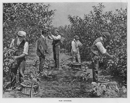 Plum gatherers. Illustration for Orchards and Gardens Ancient and Modern, with a description of the Orchards, Gardens, Model Farms and Factories owned by Mr William Whiteley, of Westbourne Grove, London, by Alfred Barnard (London, 1895).