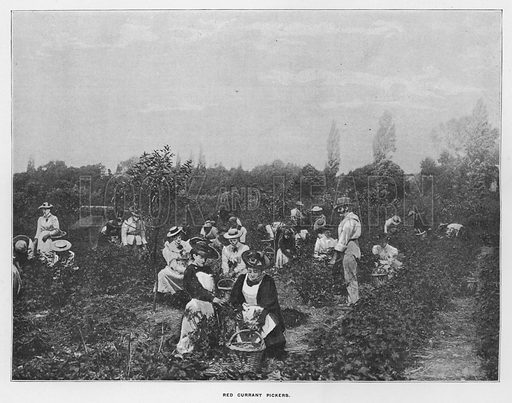 Red currant pickers. Illustration for Orchards and Gardens Ancient and Modern, with a description of the Orchards, Gardens, Model Farms and Factories owned by Mr William Whiteley, of Westbourne Grove, London, by Alfred Barnard (London, 1895).