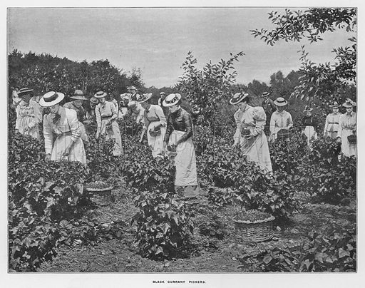 Black currant pickers. Illustration for Orchards and Gardens Ancient and Modern, with a description of the Orchards, Gardens, Model Farms and Factories owned by Mr William Whiteley, of Westbourne Grove, London, by Alfred Barnard (London, 1895).
