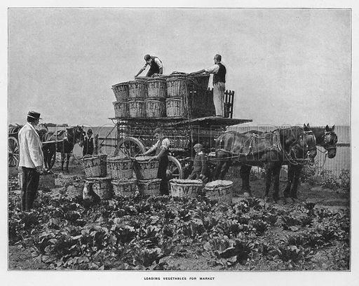 Loading vegetables for market. Illustration for Orchards and Gardens Ancient and Modern, with a description of the Orchards, Gardens, Model Farms and Factories owned by Mr William Whiteley, of Westbourne Grove, London, by Alfred Barnard (London, 1895).