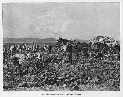 Pulling red cabbage and picking vegetable marrows. Illustration for Orchards and Gardens Ancient and Modern, with a description of the Orchards, Gardens, Model Farms and Factories owned by Mr William Whiteley, of Westbourne Grove, London, by Alfred Barnard (London, 1895).