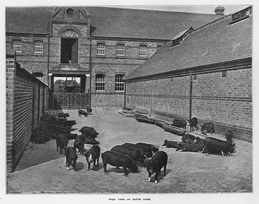 Pigs' yard at Butts Farm. Illustration for Orchards and Gardens Ancient and Modern, with a description of the Orchards, Gardens, Model Farms and Factories owned by Mr William Whiteley, of Westbourne Grove, London, by Alfred Barnard (London, 1895).