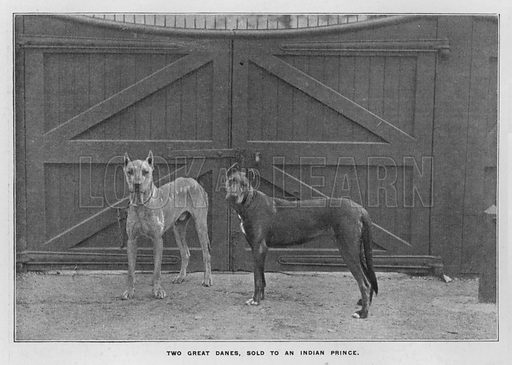 Two Great Danes, sold to an Indian Prince. Illustration for Orchards and Gardens Ancient and Modern, with a description of the Orchards, Gardens, Model Farms and Factories owned by Mr William Whiteley, of Westbourne Grove, London, by Alfred Barnard (London, 1895).