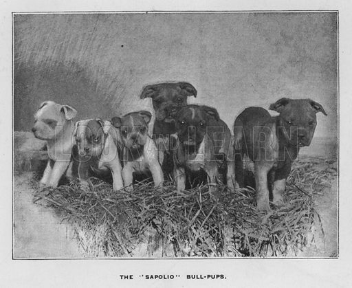 """The """"Sapolio"""" bull-pups. Illustration for Orchards and Gardens Ancient and Modern, with a description of the Orchards, Gardens, Model Farms and Factories owned by Mr William Whiteley, of Westbourne Grove, London, by Alfred Barnard (London, 1895)."""