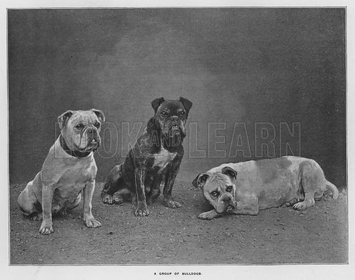 A group of bulldogs. Illustration for Orchards and Gardens Ancient and Modern, with a description of the Orchards, Gardens, Model Farms and Factories owned by Mr William Whiteley, of Westbourne Grove, London, by Alfred Barnard (London, 1895).