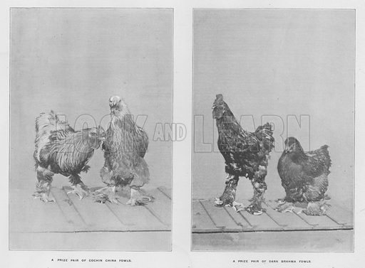 A prize pair of Cochin China Fowls; A prize pair of Dark Brahma Fowls. Illustration for Orchards and Gardens Ancient and Modern, with a description of the Orchards, Gardens, Model Farms and Factories owned by Mr William Whiteley, of Westbourne Grove, London, by Alfred Barnard (London, 1895).
