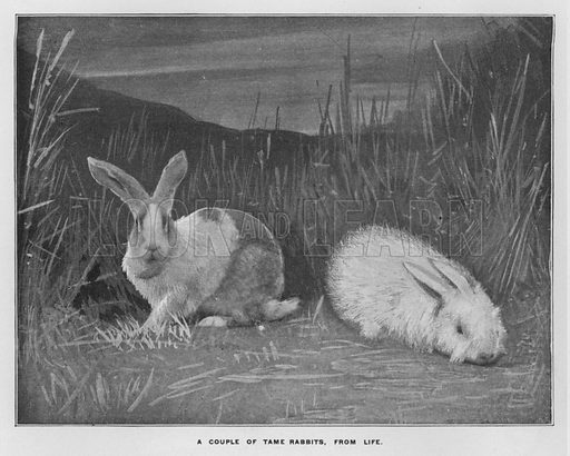 A couple of tame rabbits, from life. Illustration for Orchards and Gardens Ancient and Modern, with a description of the Orchards, Gardens, Model Farms and Factories owned by Mr William Whiteley, of Westbourne Grove, London, by Alfred Barnard (London, 1895).