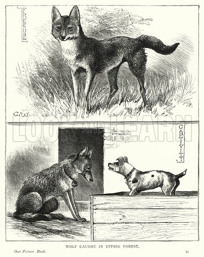Wolf caught in Epping Forest. Illustration for Our Picture Book (S W Partridge, c 1870).
