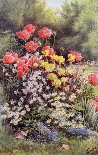 Oriental Poppies, Irises, Columbines and Daisies