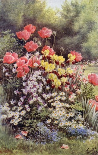 Oriental Poppies, Irises, Columbines and Daisies. Illustration for Hardy Perennials and Herbaceous Borders by Walter P Wright (Swarthmore, 1912).