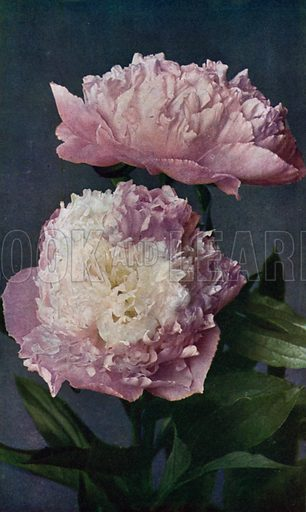 Paeony, Kelway's Lady of the West. Illustration for Hardy Perennials and Herbaceous Borders by Walter P Wright (Swarthmore, 1912).