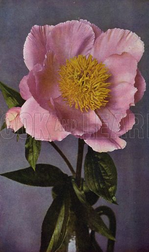 Paeony, Kelway's Pride of Langport. Illustration for Hardy Perennials and Herbaceous Borders by Walter P Wright (Swarthmore, 1912).