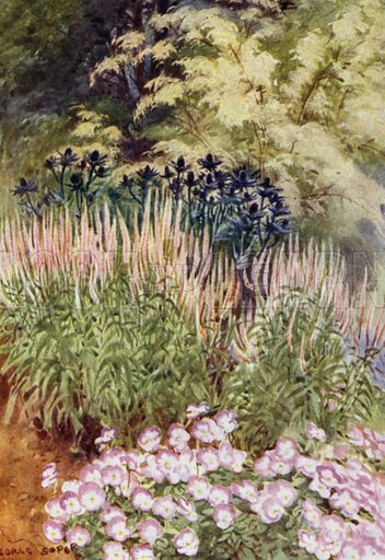 Veronica spicata rosea, with Eryngiums and Violas. Illustration for Hardy Perennials and Herbaceous Borders by Walter P Wright (Swarthmore, 1912).