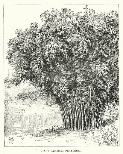 Giant Bamboos, Peradenia. Illustration for Picturesque India, A Handbook for European Travellers (George Routledge, 1898).  Illustrations drawn by John Pedder (1850-1929), H Sheppard Dale (1852-1921), and H H Stanton (fl 1880-1905).