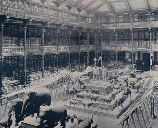 "Gallery of Zoology, Natural History Museum. Illustration for Beautiful Paris with over 400 views taken by Mr A Pepper, Official Photographer of the French Government, with introduction by J W Buel (Arkell Weekly, 1894).  No further info found on ""Mr A Pepper""."