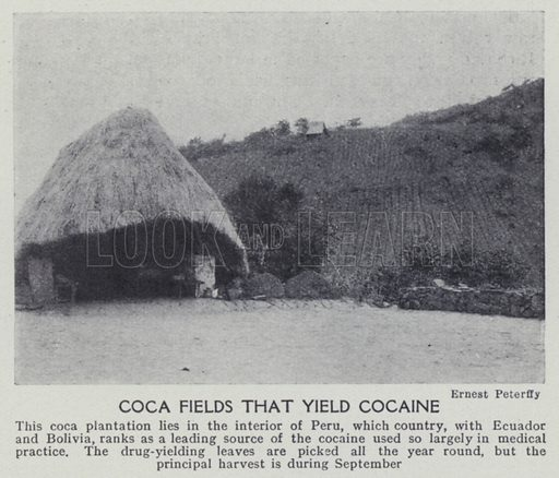 Coca fields that yield cocaine. Illustration for Harmsworth's Business Encyclopedia and Commercial Educator (c 1926).