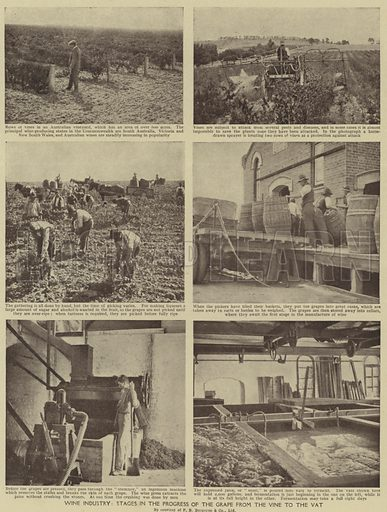 Wine industry, Stages in the progress of the grape from the vine to the vat. Illustration for Harmsworth's Business Encyclopedia and Commercial Educator (c 1926).