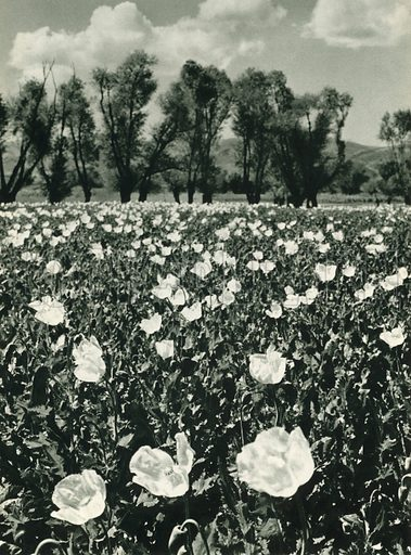 Hashas tarlasi, Afyon, Poppy-Fields near Afyon. Illustration for Fotografla Turkiye [ie Turkey in Pictures] published by The General Direction of The Press, Ankara, c 1930.  Photographs provided by Orthmar Pferschy (1898-1984).  It is not clear whether or not all the photos are by Pferschy, or whether or not the copyright was acquired by the State.  Gravure printed.