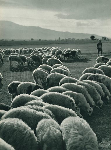 Karaman'in koyunlari, A Flock of Karaman Sheep. Illustration for Fotografla Turkiye [ie Turkey in Pictures] published by The General Direction of The Press, Ankara, c 1930.  Photographs provided by Orthmar Pferschy (1898-1984).  It is not clear whether or not all the photos are by Pferschy, or whether or not the copyright was acquired by the State.  Gravure printed.