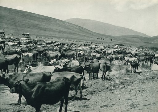 Kars'in sigir suruleri, Herds of Cattle passing through the pasture-grounds of Kars. Illustration for Fotografla Turkiye [ie Turkey in Pictures] published by The General Direction of The Press, Ankara, c 1930.  Photographs provided by Orthmar Pferschy (1898-1984).  It is not clear whether or not all the photos are by Pferschy, or whether or not the copyright was acquired by the State.  Gravure printed.