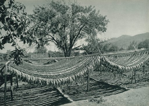 Kuruyan tutun, Drying of tobaco. Illustration for Fotografla Turkiye [ie Turkey in Pictures] published by The General Direction of The Press, Ankara, c 1930.  Photographs provided by Orthmar Pferschy (1898-1984).  It is not clear whether or not all the photos are by Pferschy, or whether or not the copyright was acquired by the State.  Gravure printed.