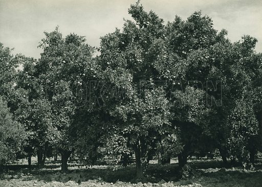 Adana'nin portakal bahceleri, An Orange-Garden near Adana. Illustration for Fotografla Turkiye [ie Turkey in Pictures] published by The General Direction of The Press, Ankara, c 1930.  Photographs provided by Orthmar Pferschy (1898-1984).  It is not clear whether or not all the photos are by Pferschy, or whether or not the copyright was acquired by the State.  Gravure printed.