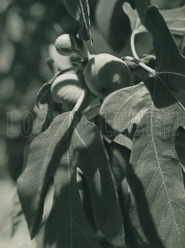 Incir, Figs from Izmir. Illustration for Fotografla Turkiye [ie Turkey in Pictures] published by The General Direction of The Press, Ankara, c 1930.  Photographs provided by Orthmar Pferschy (1898-1984).  It is not clear whether or not all the photos are by Pferschy, or whether or not the copyright was acquired by the State.  Gravure printed.