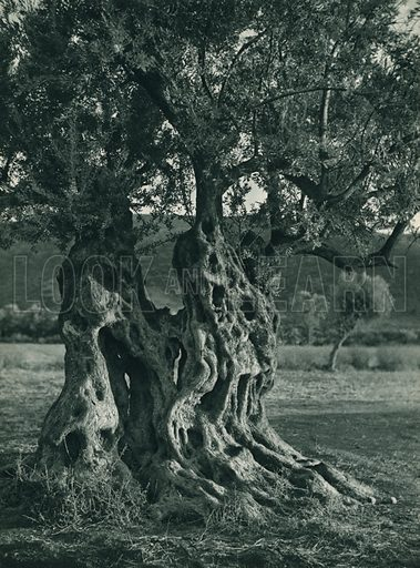 Ihtiyar bir zeytin agaci, An Ancestral Olive Tree. Illustration for Fotografla Turkiye [ie Turkey in Pictures] published by The General Direction of The Press, Ankara, c 1930.  Photographs provided by Orthmar Pferschy (1898-1984).  It is not clear whether or not all the photos are by Pferschy, or whether or not the copyright was acquired by the State.  Gravure printed.