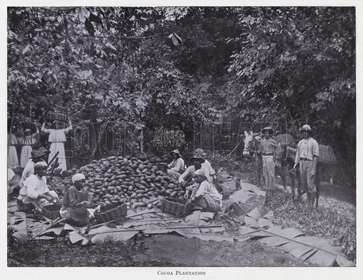 Cocoa plantation. Illustration for The Raw Materials of Commerce by J Henry Vanstone (Pitman, 1929).